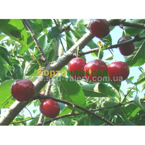 Cаженцы абрикоса сорта описание Купить саженцы абрикоса