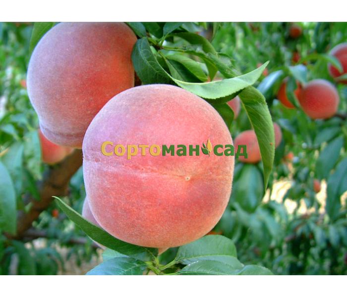 Персики рассада продажа 2