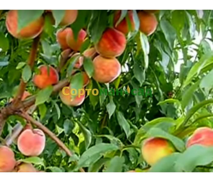 Персики рассада продажа 59