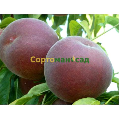 Персик Свит Дрим