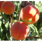 Персик Топ Свит Т 5
