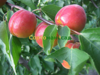 Урожай плодово-ягодных культур (64)